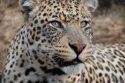 sami alam nimira leopards born free sanctuary