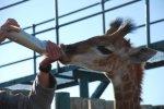 feeding a baby giraffe, Shamwari