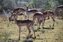 gazelle at shamwari