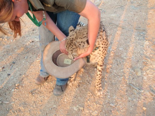 A handler tries to wrestle guest's hat from a cheetah