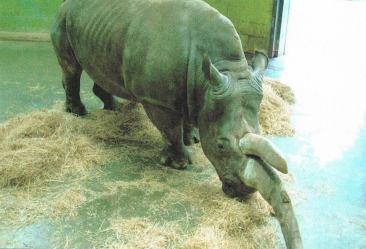 captive zoo rhino