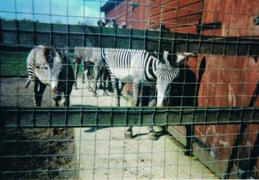 captive zebras behind a fence