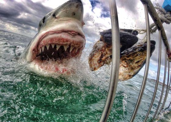 great-white-shark-gopro-01_84477_990x742 (1)