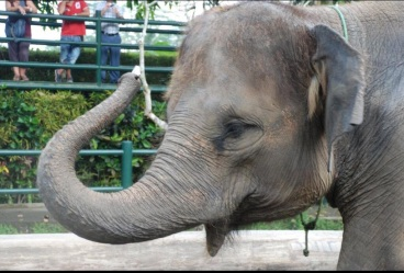 Captive Indian elephant