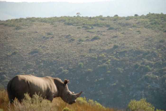 rhino at Shamwari