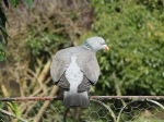 Wood pigeon photo by Kate on Conservation