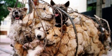 Yulin dogs in cages, China