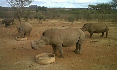 rhinos-farmed