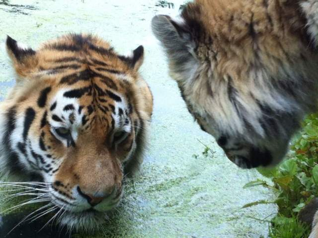 tigers-photo