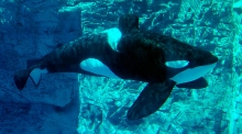 Tilikum the orca at Seaworld, Florida