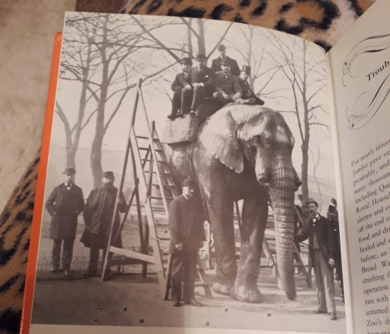 Jumbo the elephant offering rides