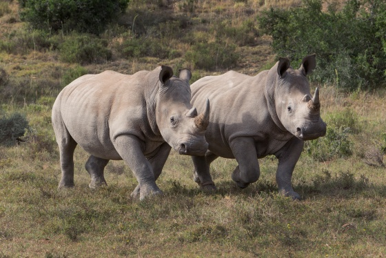 white rhinos born free foundations